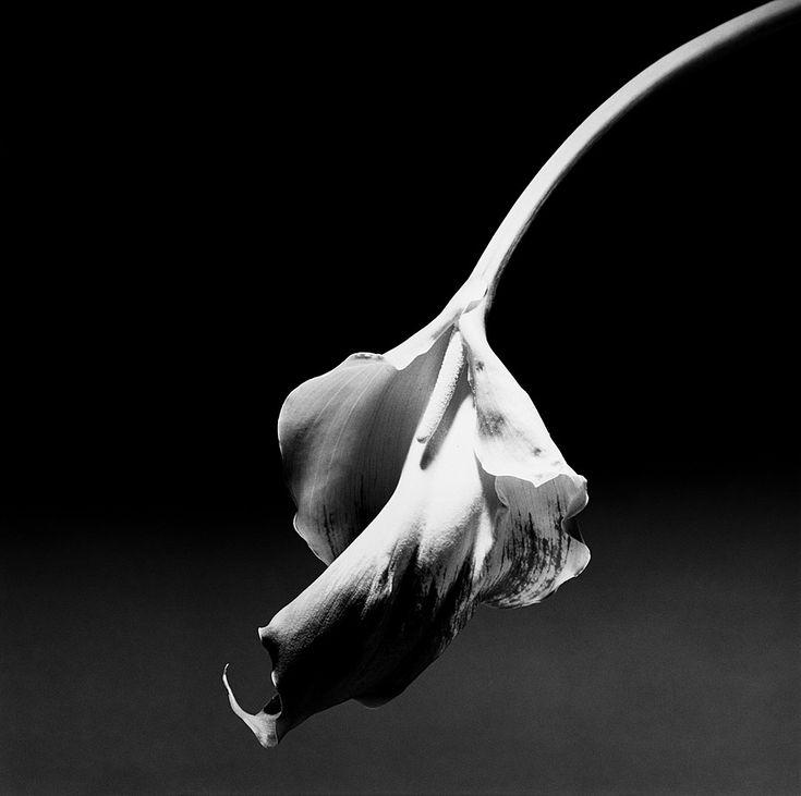 Collection Online | Robert Mapplethorpe. Calla Lily. 1986 - Guggenheim Museum