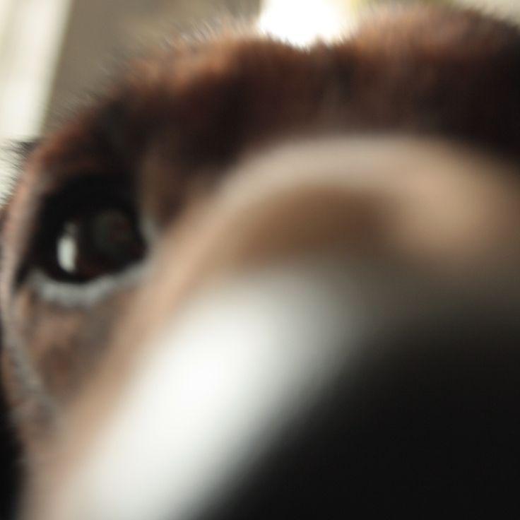 My dog Max, Bavarian Mountain Hound. Onze hond Max, Beierse Bergzweethond..