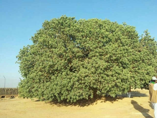 """The Prophet sitting under this tree, and its reacting to the Prophet makes the tree the only living terrestrial witness to the Prophet , what we would call in Arabic a sahabi.""H.R.H. Prince Ghazi bin Muhammad"