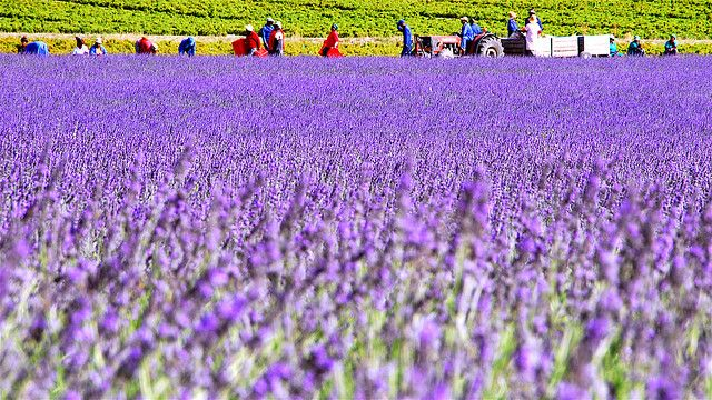 South Africa - Lavender Fields