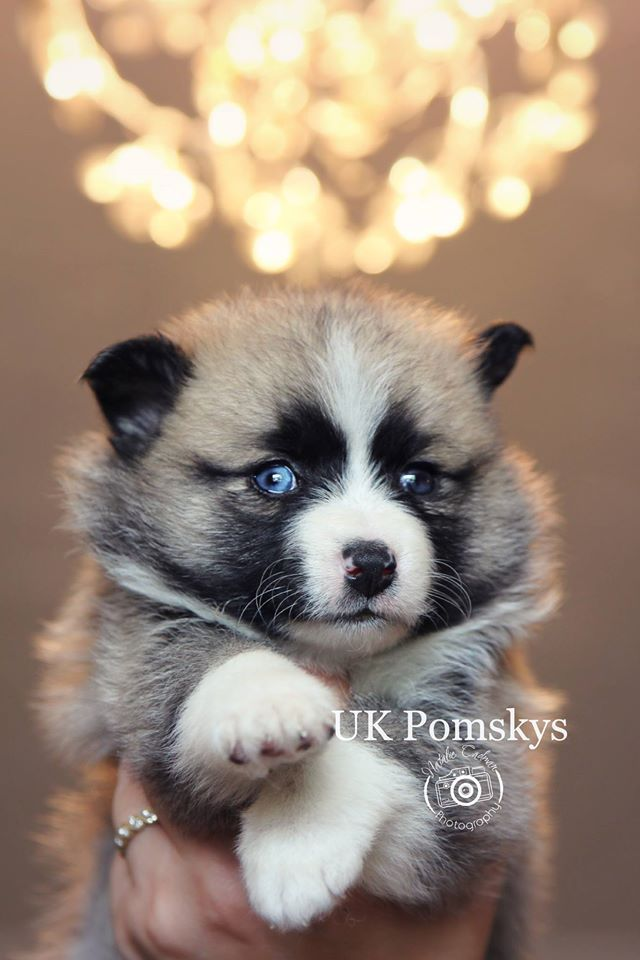 Why oh why do I have to have such a blue eye fetish. This a rare, hard to find and VERY expensive ($2,500-$3,000) Pomesky (Husky + Pomeranian) puppy with two stunning blue eyes.   If your wondering no a Husky and Pom don't have sex naturally, its all done by artificial insemination. The mother is always the Husky and father is the Pom. Pomesky's are a hybrid, so it's not a recognized breed.