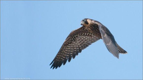 Petition: Save British Birds of Prey » Focusing on Wildlife