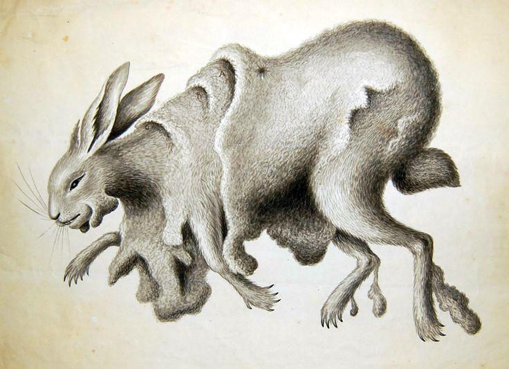 Studium króliczej skórki (George Edwards, ok. 1736, BM, SL,5261.110)