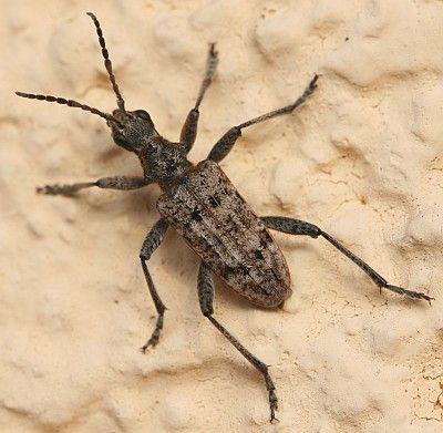 die larven vom schrotbock rhagium inquisitor bevorzugen. Black Bedroom Furniture Sets. Home Design Ideas