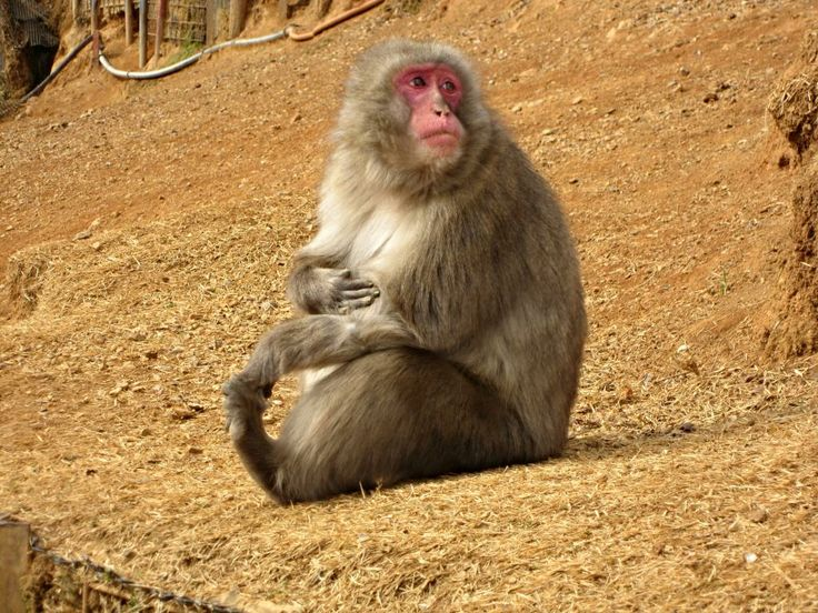 Japanese macaque at the Iwatayama Monkey Park in ...