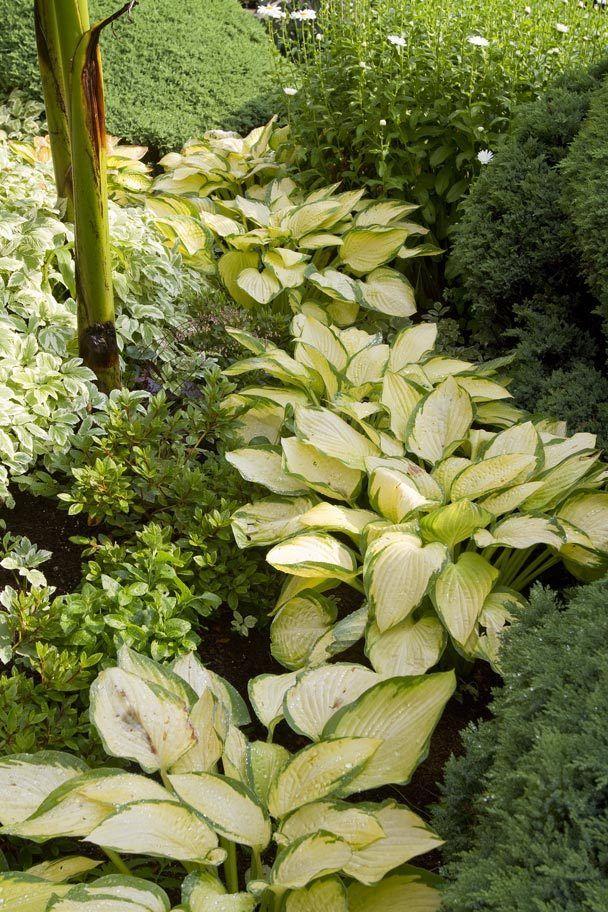 442 best Hostas images on Pinterest Shade plants Garden plants