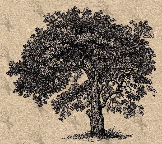 Image Oak Tree Instant Download picture Digital printable vintage clipart graphic stickers, prints, burlap, t-shirt, iron on etc HQ 300dpi by UnoPrint on Etsy #hq #png #bw #Ephemera #diy #old #book #illustration #gravure #inspiration #retro #antique #vintage #300dpi #craft #draw #drawing  #black #white #printable #crafts #transfer #decor #hand #digital #collage #scrapbooking #quality
