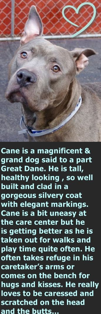 KILLED 4/11/16 Manhattan Center CANE – A1068716 MALE, BLUE MERLE / WHITE, AM PIT BULL TER / GREAT DANE, 2 yrs STRAY – STRAY WAIT, NO HOLD Reason STRAY Intake condition EXAM REQ Intake Date 03/28/2016 http://nycdogs.urgentpodr.org/cane-a1068716/