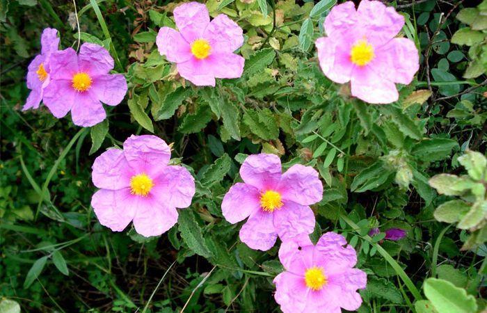 CistusCreticusIncanus ή Λαδανίαή Αλάδανος ή Κουνούκλα… Θαμνώδες Φυτό, Eνδηµικό στην Ελλάδα το οποίο φύεται Κυρίως στην Κρήτη α...