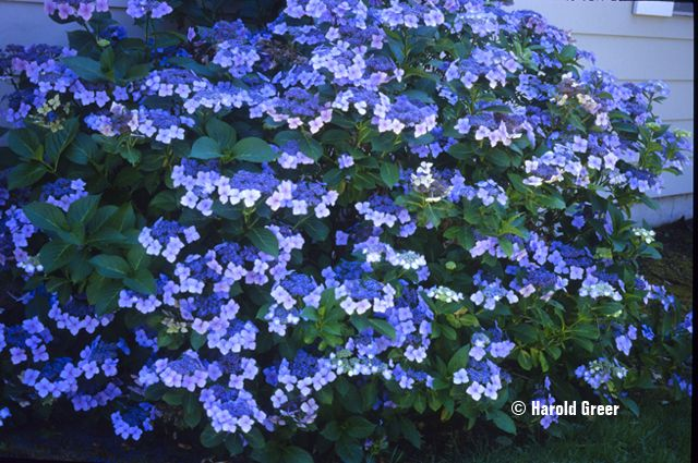 Blue Wave Hydrangea - 2 (3 gallon)