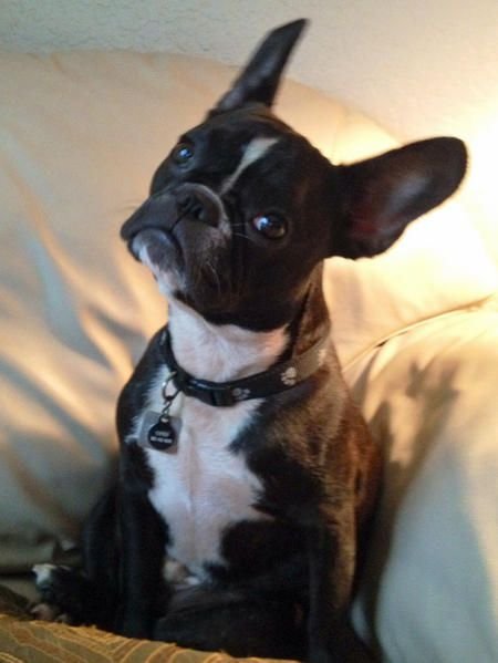 17 best ideas about french bulldog mix on pinterest brindle french bulldog french bulldog. Black Bedroom Furniture Sets. Home Design Ideas