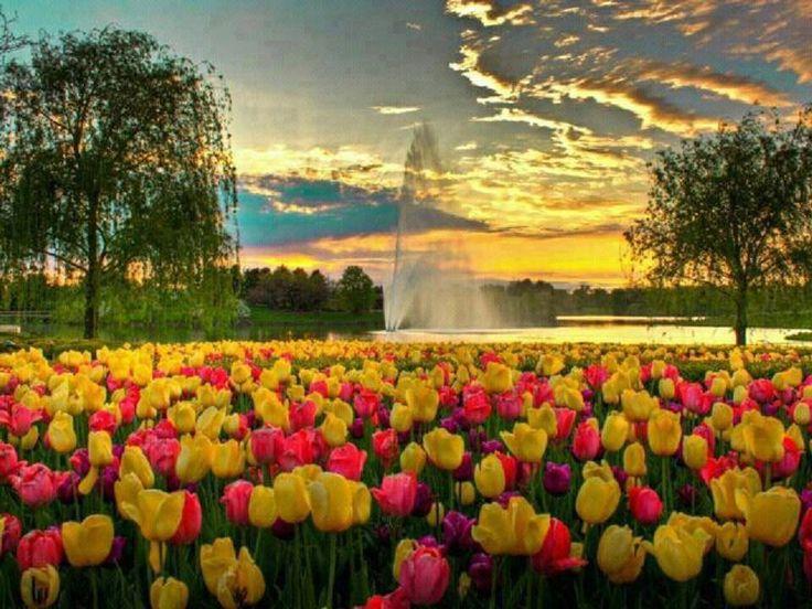 @che_stefano Sto bene! Come stai? Per voi, un intero giardino di tulipani!!!