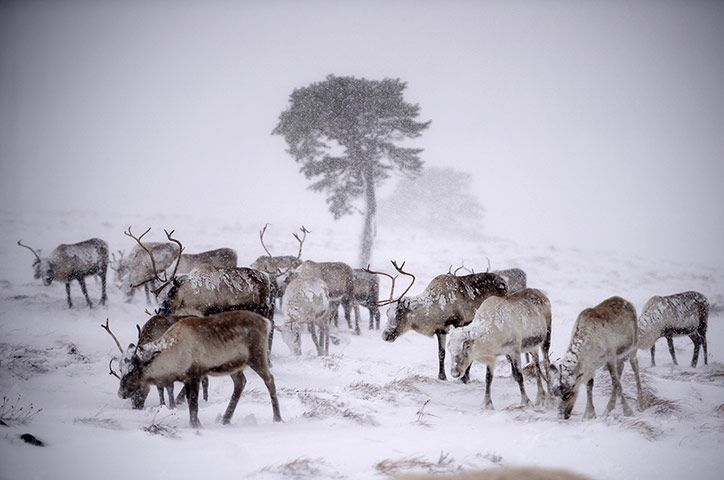 Credit: Jeff J Mitchell/Getty Images Reindeer from the Cairgorm herd walk through heavy snow in Aviemore, Scotland. Reindeer were brought to...
