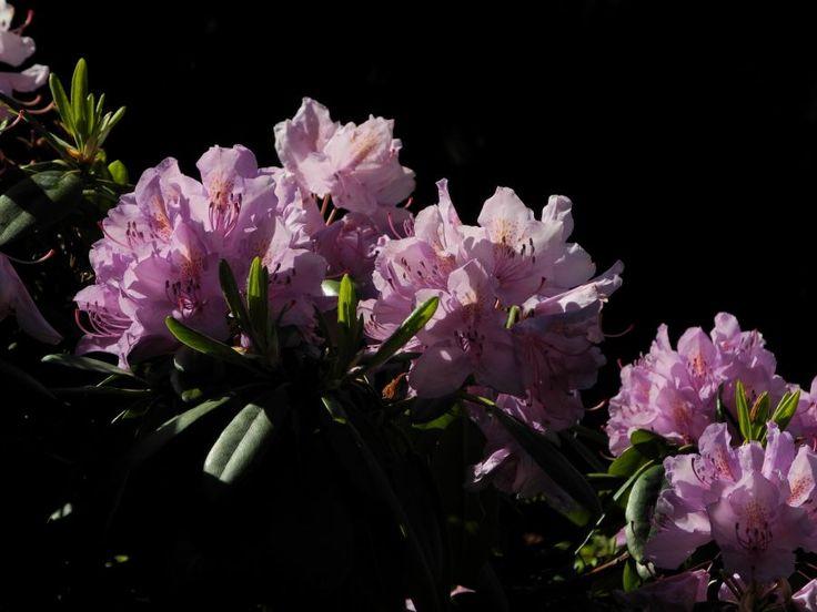 rhododendron bluete pink sch ne pflanzen bilder. Black Bedroom Furniture Sets. Home Design Ideas