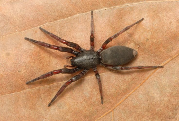 Animal White Tail Spider  Spider Wallpaper