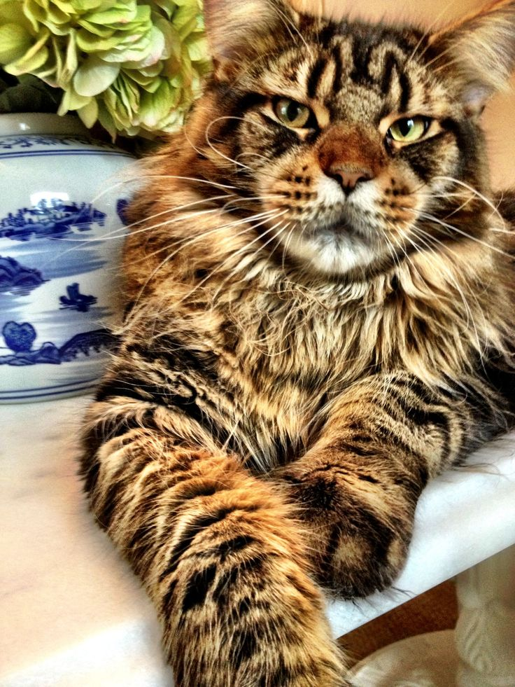http://www.mainecoonguide.com/male-vs-female-maine-coons/