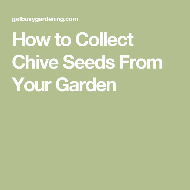 How to Collect Chive Seeds From Your Garden