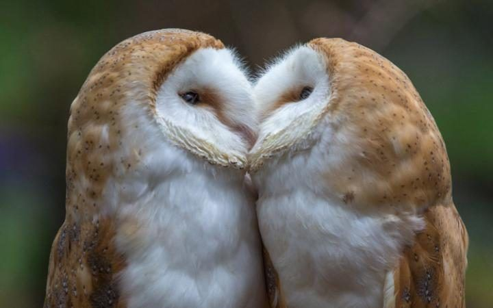 A pair of barn owls have a tender moment as they share a kiss before snuggling together in the fork of a tree. The birds, which are sisters, not a mating pair, live in in Lea Marston, Warwickshire.