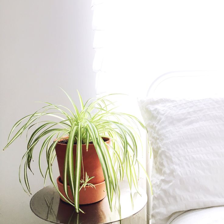 Spider Plant/Chlorophytum Comosum   Five plants to keep you company in the bedroom   Rogue Wood Supply