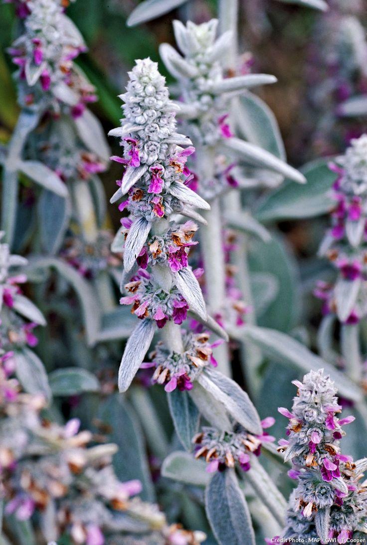 Les 25 meilleures id es de la cat gorie plantes feuillage sur pinterest arbuste japonais - Arbuste japonais fleur jaune ...