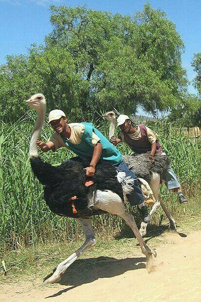 Ostrich racing in Oudtshoorn, South Africa.
