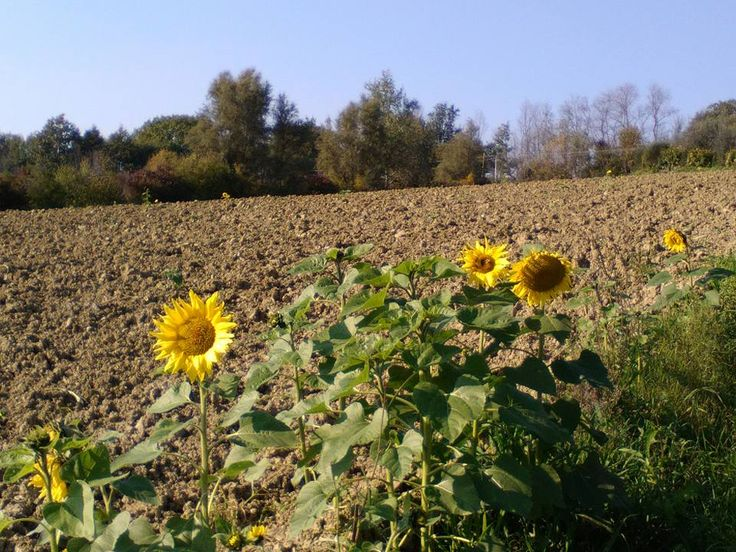 Sunflowers in november ?
