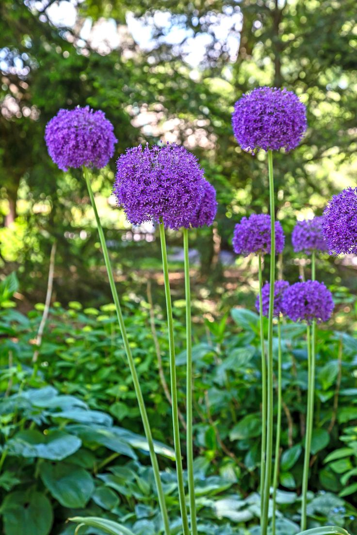 Holland park garden gallery brings in annuals from across ontario to - Giant Ornamental Onion Always Brings Smiles Http Sugarcreekgardens Com Product