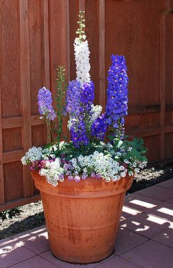 Delphiniums Container Gardening And Sun On Pinterest