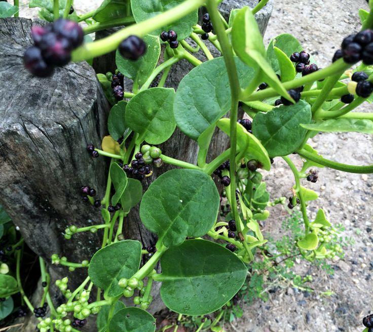 Pancs: a importância das Plantas Alimentícias Não Convencionais   Gastrolândia – por Ailin Aleixo