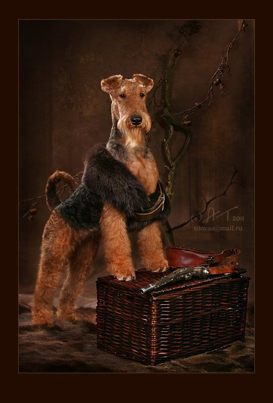 Airedale Terrier dog art portraits, photographs, information and just plain fun. See how artist Kline draws his dog art from only words at drawDOGS.com #drawDOGS