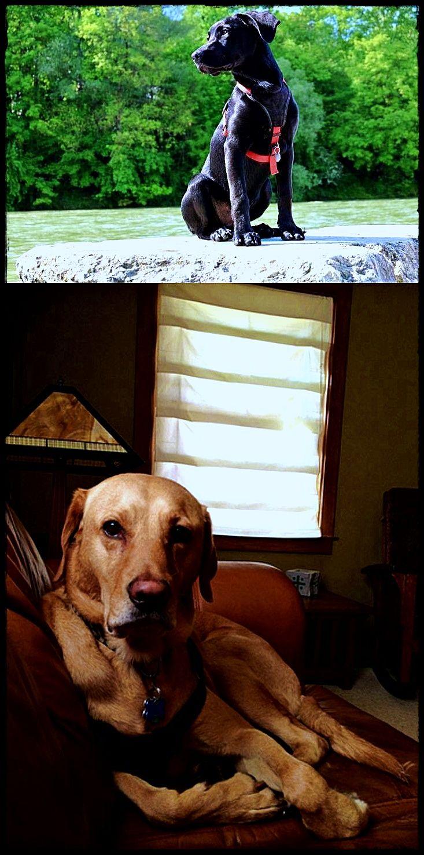 Labrador Puppies Victoria For Sale Incredible