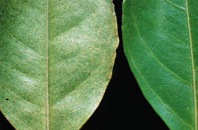 stippling: series of small dots or speckles in which chlorophyll is absent (left: stippling of citrus leaf, caused by the citrus red mite)