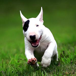 Olha a felicidade desse filhote Bull Terrier #dog #proteja #animais