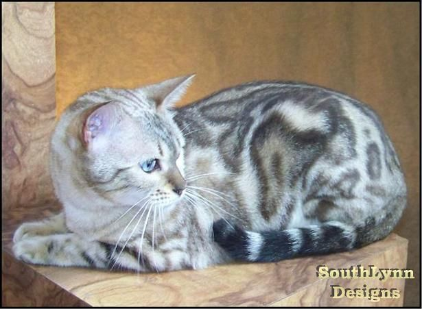 Seal Lynx Point Marble Bengal Cat Queen