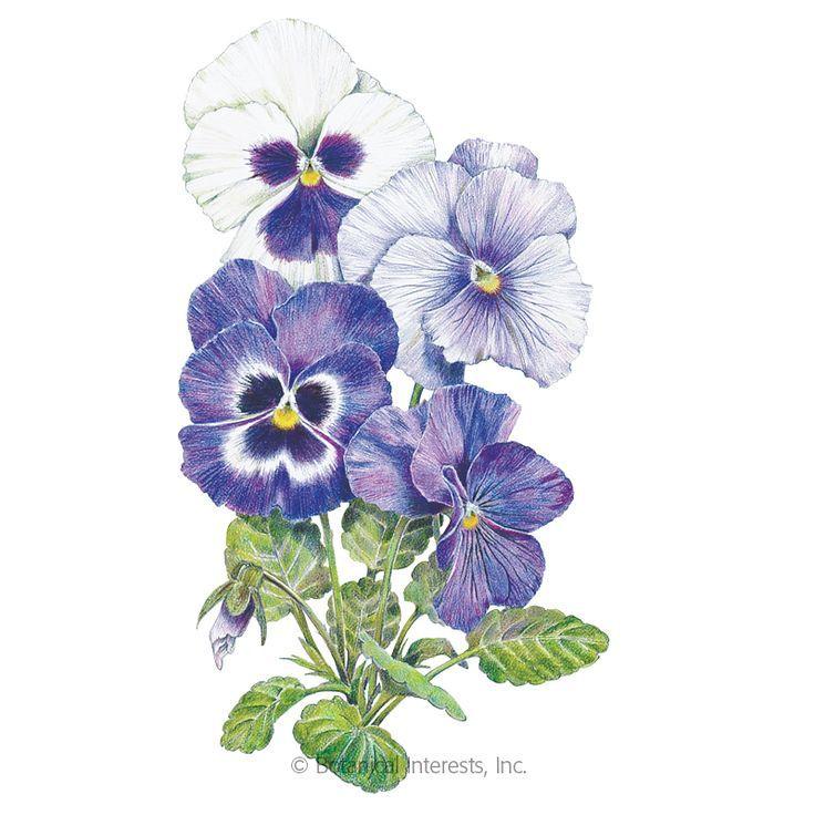 Pansies Illustration Flowers In 2020 Pansies Flowers Flower Illustration Pansies