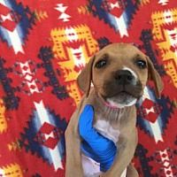 Pictures of Tatianna a American Staffordshire Terrier/Doberman Pinscher Mix for adoption in Phoenix, AZ who needs a loving home.