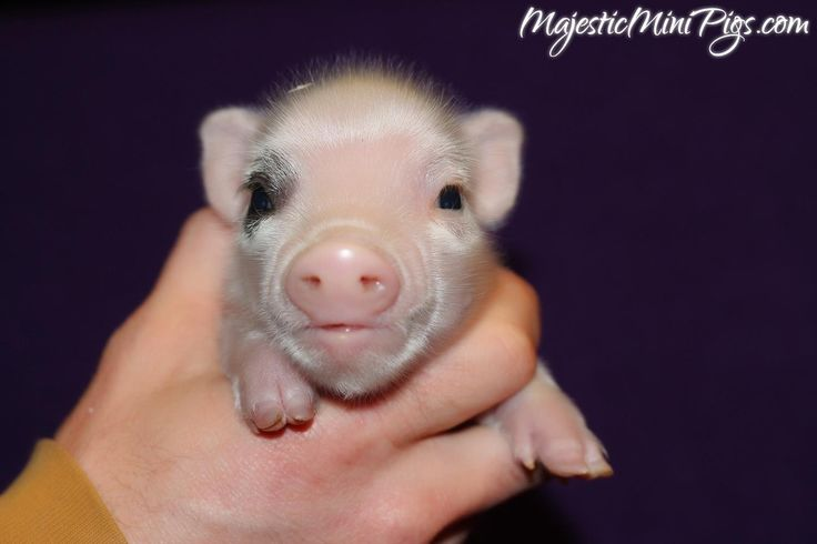 Micro mini teacup pet pigs for sale in California, Los Angeles, Hollywood, Inland Empire, Orange County - MajesticMiniPigs.com
