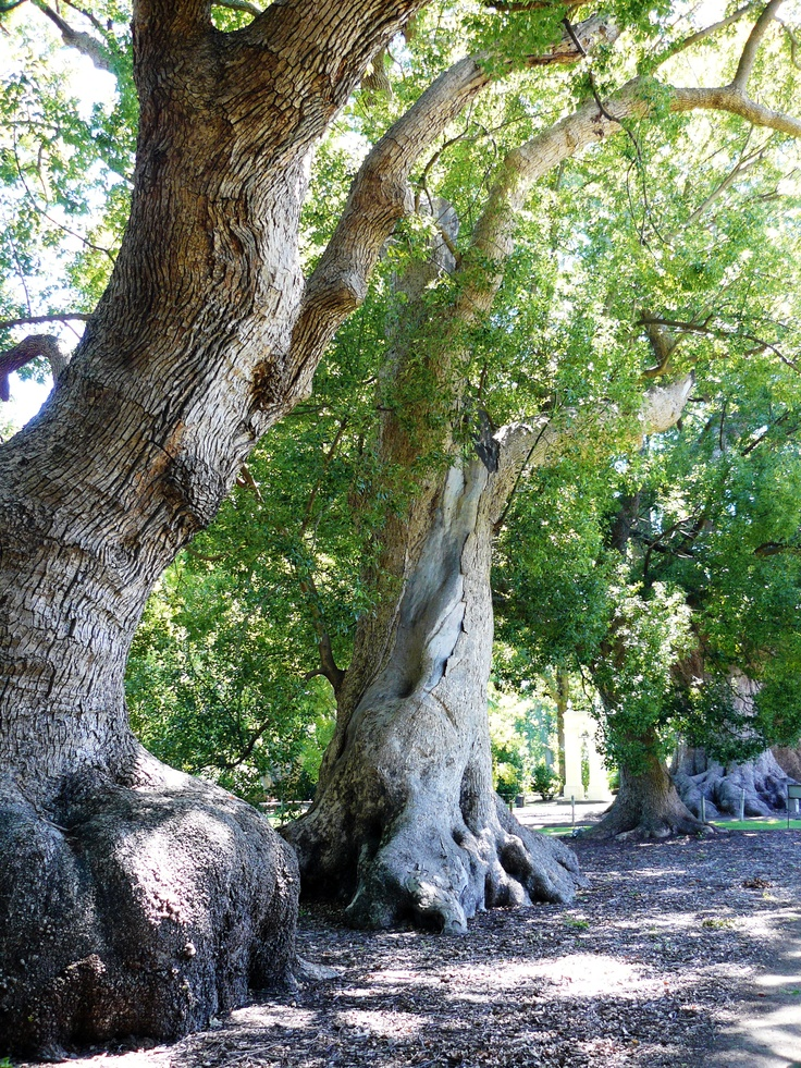 Vergelegen Estate, camphor trees planted in the early 1700s. Western Cape.
