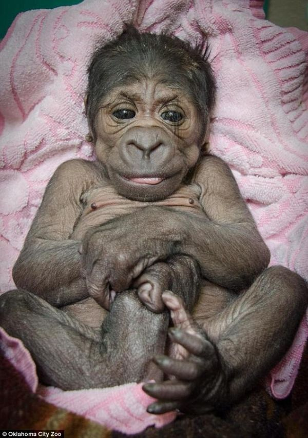 Baby #Gorilla Born at Oklahoma City Zoo ✿⊱╮