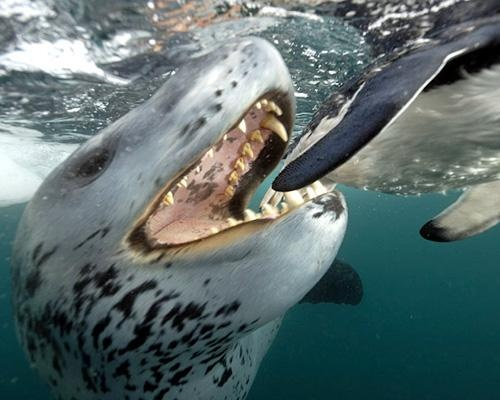 11 spectacular photos from Discovery's 'Life': Leopard seal
