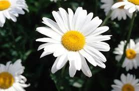 Resultado de imagem para flores para jardim de casa