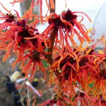Witch hazel 'Jelena' (Hamamelis x intermedia 'Jelena'). Blooms February and March,