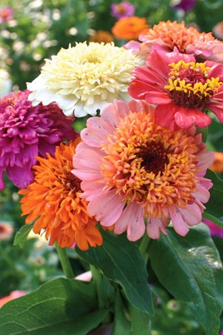 Zinnia elegans Candy Mix                                                                                                                                                                                 More