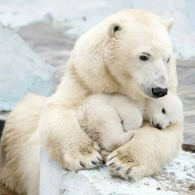 True Love - Mother Polar Bear & her Baby Cub
