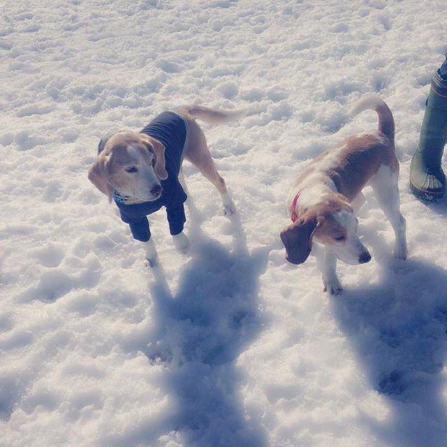 びーた君❤️はじめまして🐶❤️日吉のドッグラン初めて行きました〜💖いっぱいお友達できてよかったね😊✨ #ビーグル #ビーグル犬 #ビーグル大好き #ビーグル仔犬 #ビーグルレモンカラー #愛犬 #ドッグラン #可愛い #犬のお友達 #スプリング日吉ドッグラン #ありがとう