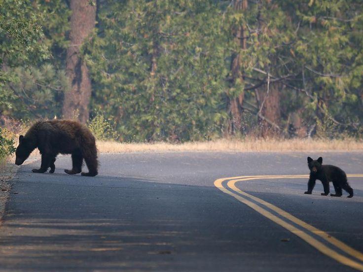 Zaterdag 24 augustus 2013: Een beer met haar welp aan de rand van het Yosemite National Park in Californië. Het park wordt bedreigd door grote bosbranden.