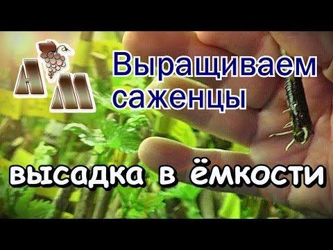 Высадка черенков винограда в ёмкости (контейнеры) после укоренения в воде - YouTube