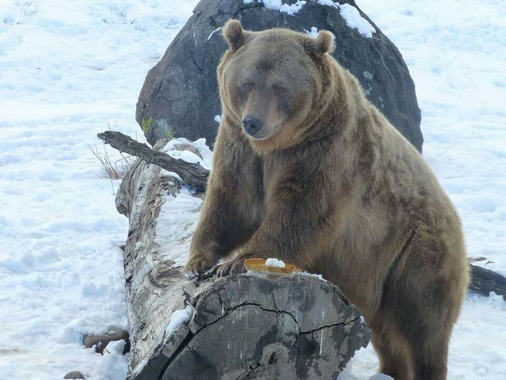 pumpkin pie kodiak bears bears grizzly polar bears pumpkin pies casey ...