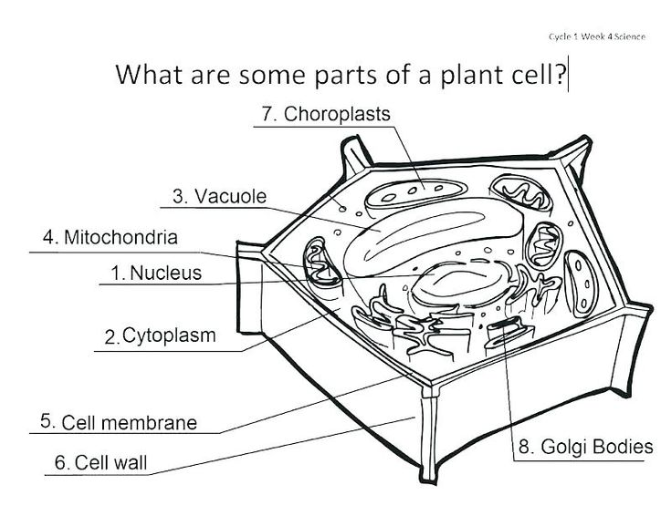 plant cell worksheet answers coloring sheet answer key