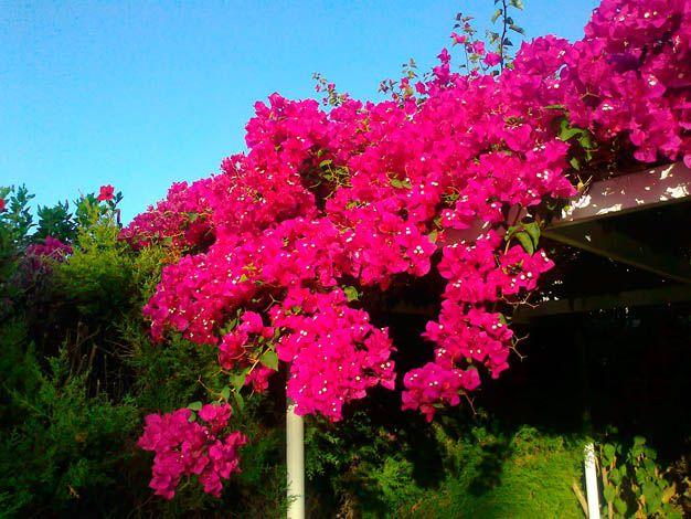 Las principales características de la Santa Rita o bungavilla: una trepadora muy bella y decorativa.